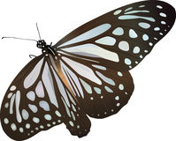 Butterfly. Very beautiful Blue Glassy Tiger butterfly Stock Image