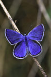 Butterfly. Very eyed adonis blue butterfly. Macro photo of butterfly hovers in spring before summer Royalty Free Stock Photos