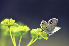 Butterfly. Very eyed blue adonis butetrfly. Macro photo of butterfly hovers in spring before summer Stock Photo