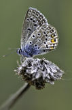 Butterfly. Very eyed blue adonis butetrfly. Macro photo of butterfly hovers in spring before summer Royalty Free Stock Photo