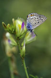 Butterfly. Very eyed  blue adonis butterfly. Macro photo of butterfly hovers in spring before summer Stock Image