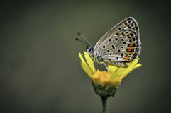 Butterfly. Very eyed  blue adonis butterfly. Macro photo of butterfly hovers in spring before summer Stock Photography