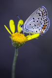 Butterfly. Very eyed  blue adonis butterfly. Macro photo of butterfly hovers in spring before summer Royalty Free Stock Image