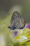 Butterfly. Very eyed blue adonis butterfly. Macro photo of butterfly hovers in spring before summer Royalty Free Stock Photography