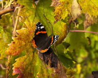 A butterfly on vine leaves Royalty Free Stock Images