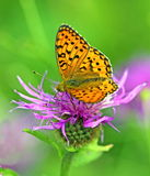 Butterfly on violet flower Stock Photography