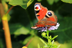 Butterfly on the violet Flower Stock Photos