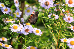 Butterfly on the violet Flower Royalty Free Stock Image