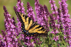Butterfly on a violet sage flowers. Yellow and black butterfly on a violet sage flowers stock image