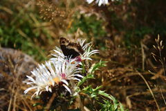 Butterfly visiting glistening silver thistle Royalty Free Stock Images