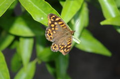 Butterfly. Waiting to take flight Royalty Free Stock Photography
