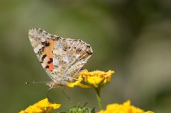 A butterfly walking among flowers royalty free stock photo