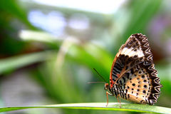 Butterfly Walks on Leaves Royalty Free Stock Images