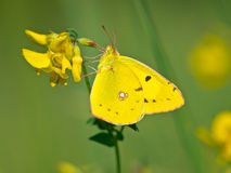 Free Butterfly Warming Its Wings In The Sun Stock Photography - 28754672