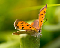 Butterfly Warming its Wings in the Sun Royalty Free Stock Photography