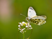 Butterfly Warming its Wings in the Sun Stock Photography