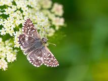 Butterfly Warming its Wings in the Sun. Beautiful Wild Grizzled Skipper Butterfly (Pyrgus malvae) - Feeding on Flowers Stock Photo