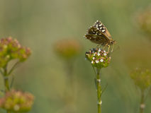Butterfly Warming its Wings in the Sun. Beautiful Wild Grizzled Skipper Butterfly (Pyrgus malvae) - Feeding on Flowers Stock Image