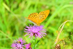 Butterfly wasp bumblebee collect nectar of flowers. The silver-washed fritillary butterfly is deep orange with black spots on the upperside of its wings, and has stock photography