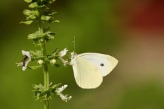 Butterfly and wasp eating. Together from white flower of basil Stock Photo