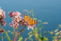 Butterfly on a water plant royalty free stock photo