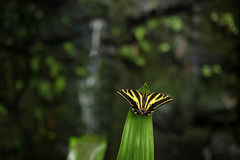 Butterfly with waterfall. Butterfly Papilio pilumnus, in the nature green forest habitat, South of USA, Arizona. Butterfly sitting Stock Photos