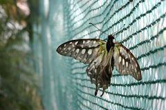 Butterfly in a web. Beautiful butterfly trapped in a web Stock Photos