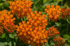 Butterfly Weed – Asclepias tuberosa. Butterfly weed or butterfly milkweed grows in sunny meadows and fields and can be seen all along the Blue Ridge Parkway Stock Photo