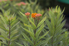 Butterfly Weed - Asclepias. Orange flower of butterfly Weed - Asclepias royalty free stock photos