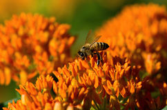 Butterfly Weed and Bee Royalty Free Stock Photo