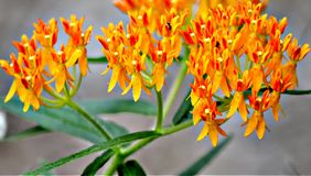 Butterfly Weed is the iconic, bright orange flower that`s a staple in butterfly garden.s stock photos