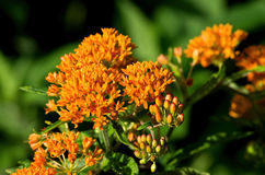 Butterfly Weed. Is a species of milkweed native to eastern North America. It is a perennial plant with clustered orange or yellow flowers. It is a bee and stock images