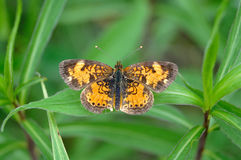 Butterfly on weeds. Pearly crescentspot butterfly resting on green leaves royalty free stock image