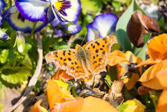 Butterfly which are in the flower bed of pansies Stock Image