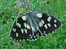 Butterfly whit black and white wings in tge grass. Butterfly whit black and white wings Royalty Free Stock Photos