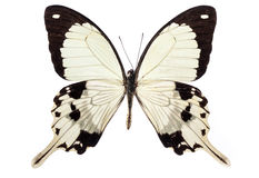 Butterfly on white Stock Image