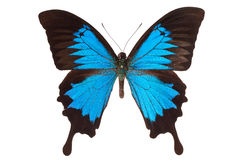 Butterfly on white Royalty Free Stock Photos