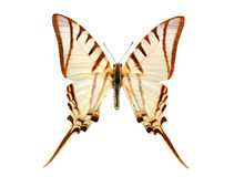 Butterfly on white royalty free stock image