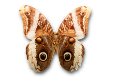 Butterfly on white. Close up of brown butterfly on white background royalty free stock photos