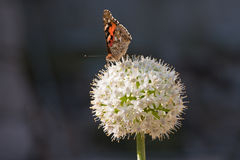 Butterfly on a white allium. Painted lady butterfly on a white allium showing its long tongue royalty free stock images