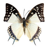 Butterfly on the white background. (isolated) (Polyura narcca Stock Images