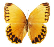 Butterfly on the white background royalty free stock image