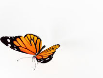 Butterfly on white background Royalty Free Stock Images
