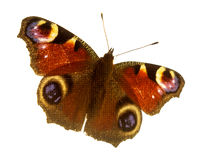 Butterfly. On a white background Royalty Free Stock Photos