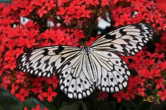 Butterfly, White, Black, Nymph Stock Photos