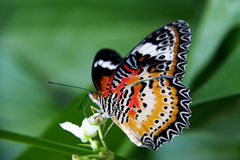 Butterfly on white blossom Royalty Free Stock Photos