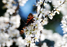 Butterfly in white blossoms Royalty Free Stock Images