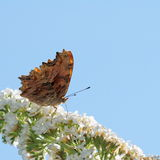 Butterfly and white Buddleja Stock Images
