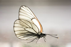 Butterfly. White cabbage Royalty Free Stock Photo