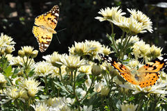 Butterfly on white chrysanthemum Stock Image